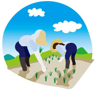 Rice planting 02
