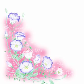 Turkey Chrysanthemum margin pink ★ 0481-F