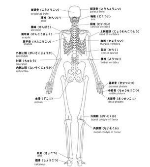 Human skeleton name Back side English