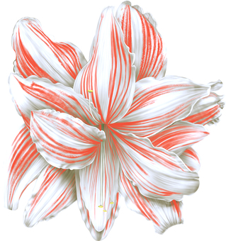 Amaryllis White Flower