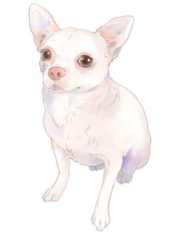 Sitting Chihuahuasa