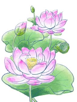 A lotus