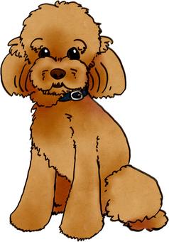 Toy poodle (color)