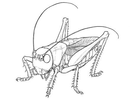 Grasshopper (coloring book)