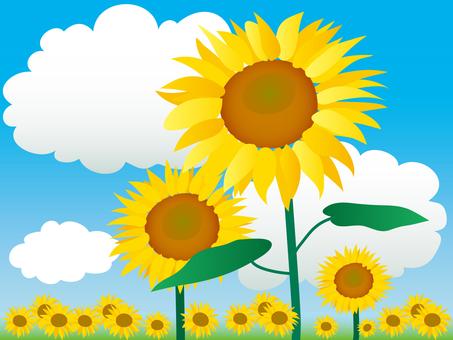 Flower, sunflower and blue sky