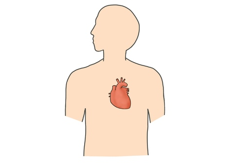人体 臓器 心臓
