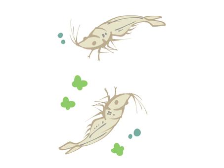 Dance freshwater shrimp