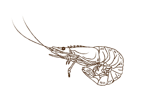 Shrimp of a line drawing