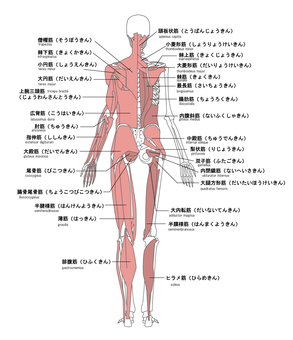 Name of human muscle Back side English