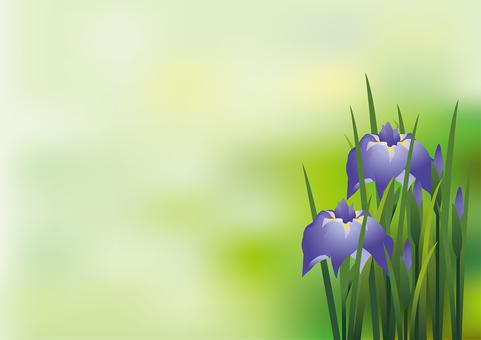 Iris iris 11