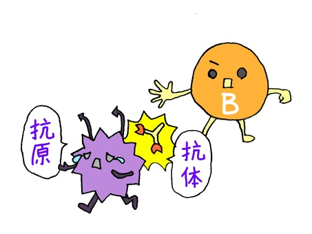 Working with B cells