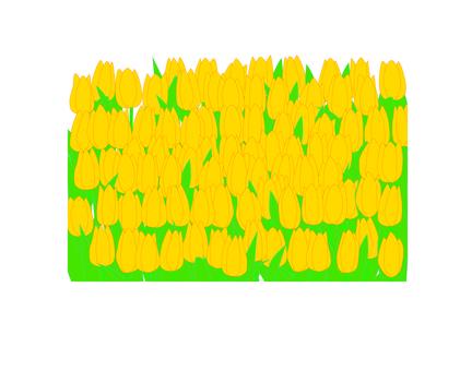노란 튤립