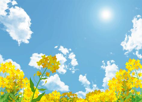 Rape flower and blue sky