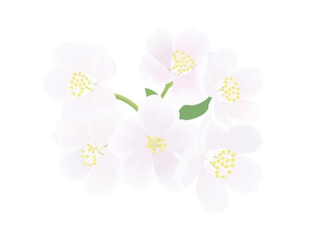 왕 벚나무 3