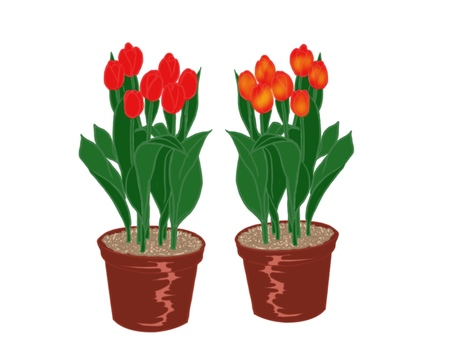 Potted tulip