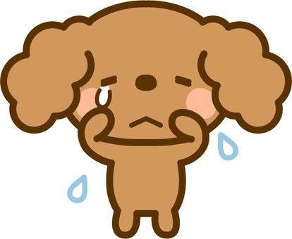 I am crying Toy poodle