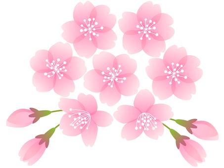 Sakura no Hana (Coral)
