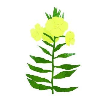 히메 달맞이꽃