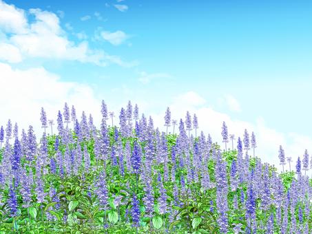 Blue Salvia Hill