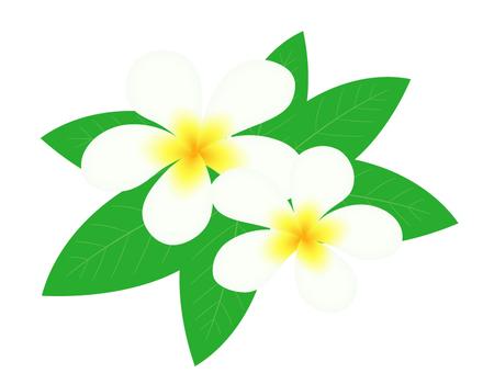 Plumeria _ flower 2