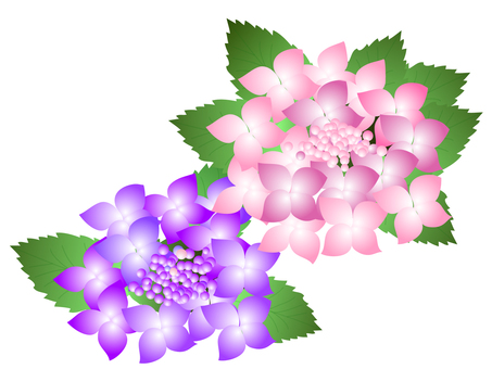 Hydrangea 2