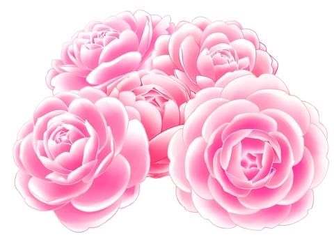 Otome camellia