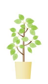 관엽 식물 휘카스