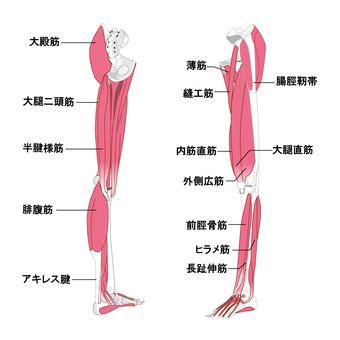 다리 근육 명칭