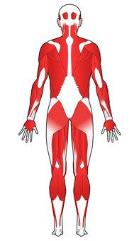 Full body muscle - back