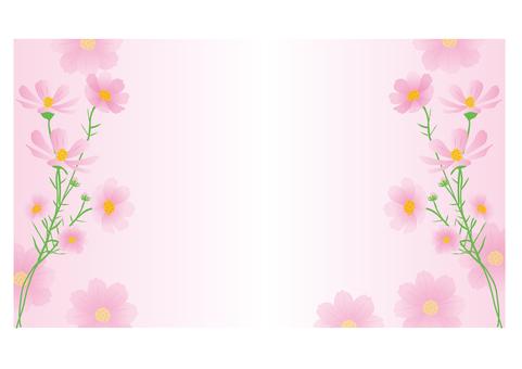 波斯菊粉紅色的背景