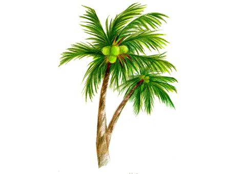 Palm tree (color pencil drawing)