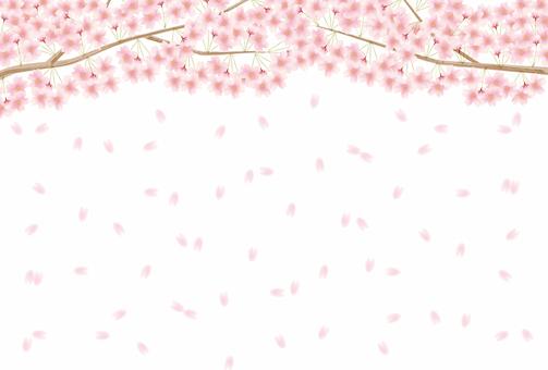 Cherry blossom background