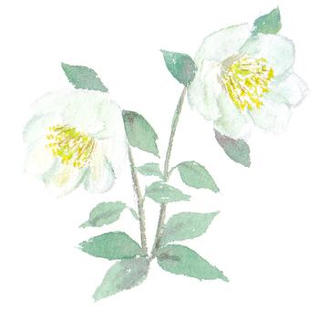 聖誕玫瑰繪圖與透明的水彩