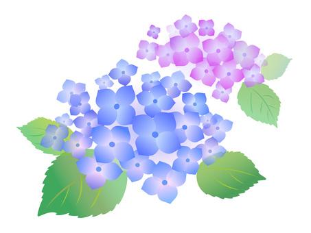 107. hydrangea, blue