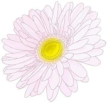 非洲菊(白色)