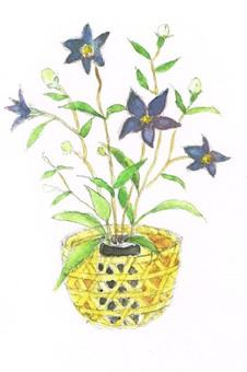 Campanulaceae watercolor