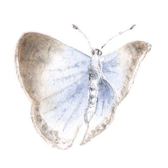 蝴蝶3大和Shizimi
