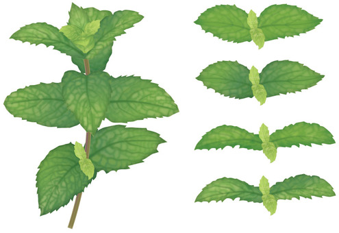 Spearmint / herb