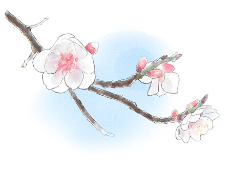 Cherry blossoms in bloom (blue sky)