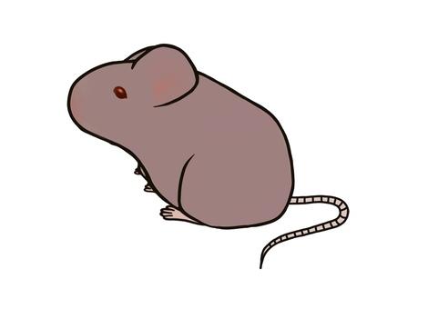 動物實驗鼠