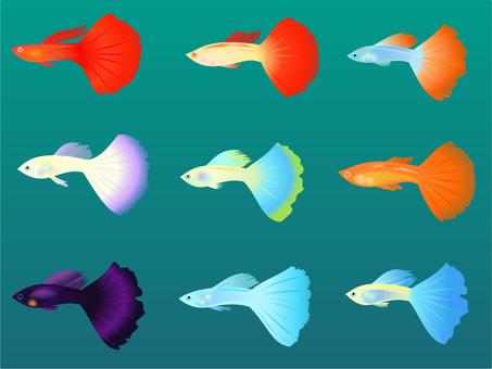 Tropical fish (guppy)