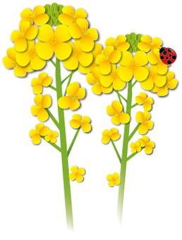 Rape flower and ladybird