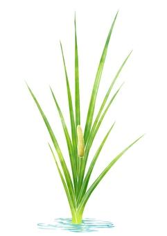 Flower of iris (showbush)
