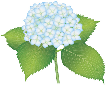 Hydrangea / light blue
