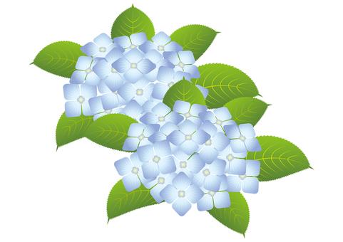 Beautiful hydrangea 4