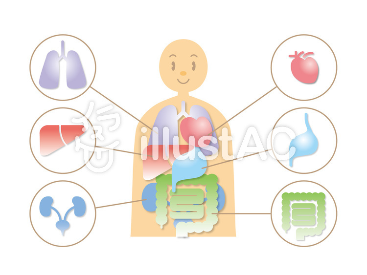 Free Cliparts : human body, Internal organs - 523097 | illustAC