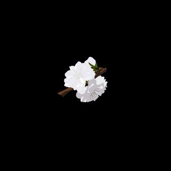 복숭아 꽃 흰색