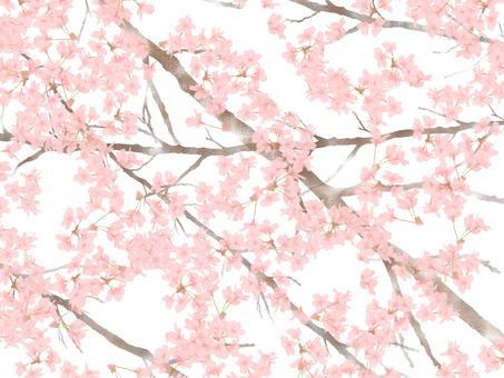 벚꽃 사쿠라