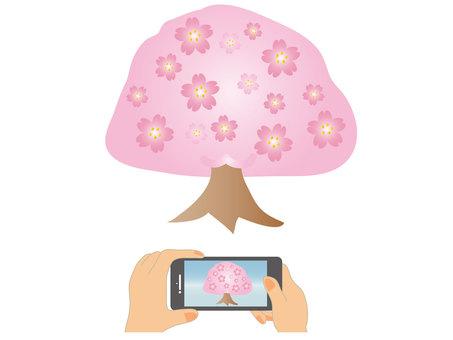 벚꽃 촬영