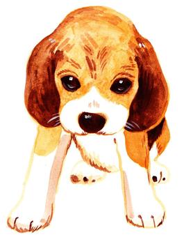 Looking Beagle